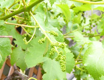0806_grape_k_72_1_