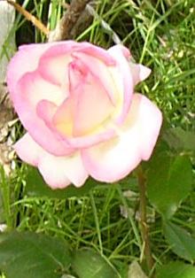 Rose_pdm_72_1_