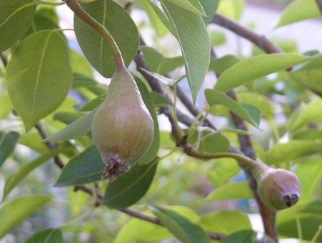 Pear_72_2_