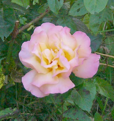 0806_rose_peace_72_2_