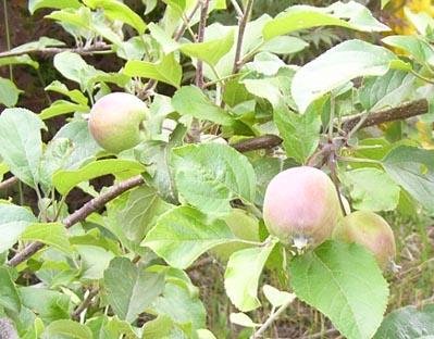 0807_tsugaru_apple_1_
