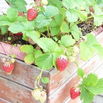 0807_jumbo_strawberry_1_