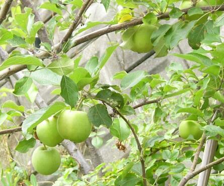 0808_apple_1_