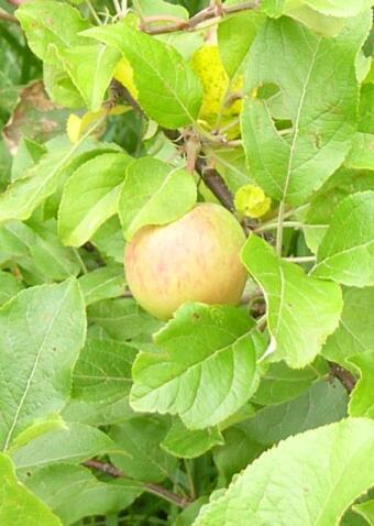0808_apple_4_