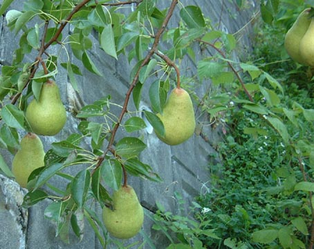 Pear_1_