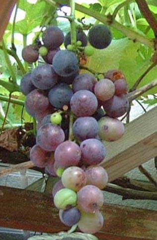 0809_grape_1