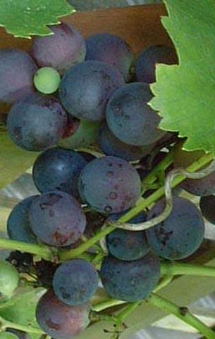 0809_grape_2