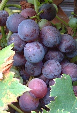 0809_grape_3