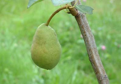 0908_pear_1_