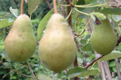 0908_pear_2_
