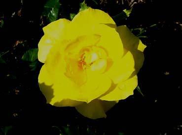 090825_rose_ffreesia_1_