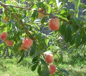 0909_peach_1s_