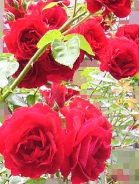 0910_rose_1