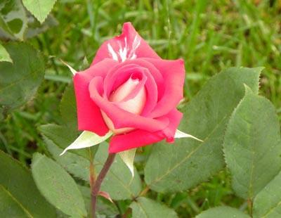 1007_rose_love_2s_
